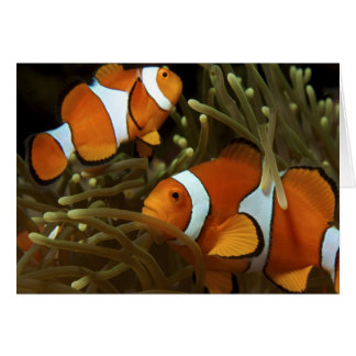 Amphiprion ocellaris Clown anemonefish Card