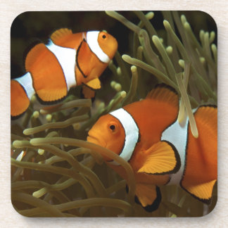 Amphiprion ocellaris Clown anemonefish Coaster