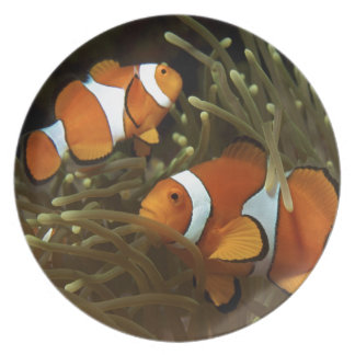 Amphiprion ocellaris Clown anemonefish Plates