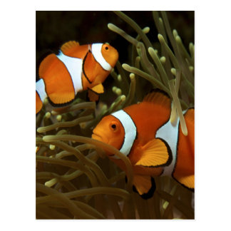 Amphiprion ocellaris Clown anemonefish Postcard