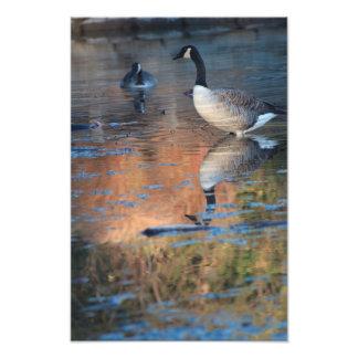 Ampliación canadiense de la foto de los gansos cojinete