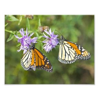Ampliación de la foto de la mariposa de monarca cojinete