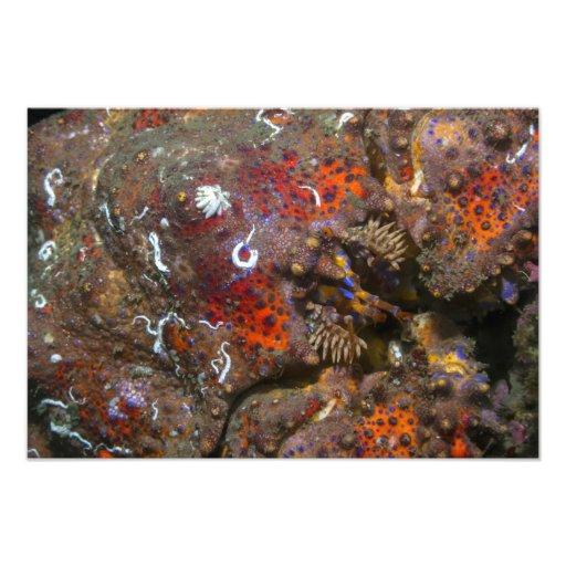 Ampliación de la foto de rey cangrejo de Puget Sou