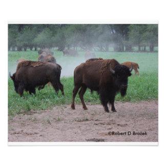 Ampliación de la foto del búfalo de Kansas Cojinete