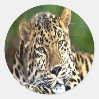 Amur Leopard look forward to love Classic Round Sticker