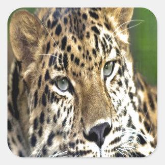 Amur Leopard look forward to love Square Sticker