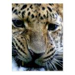 Amur Leopard  Postcards