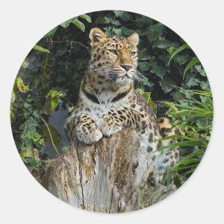 Amur Leopard Round Stickers