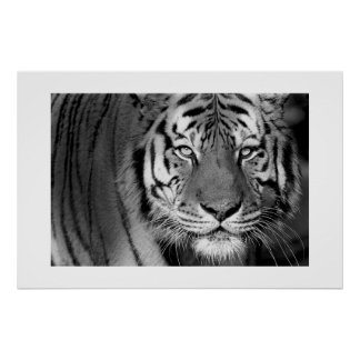 Amur Tiger 1 Print