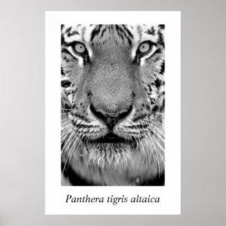 Amur Tiger #4 Panthera tigris altaica Poster