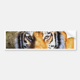 Amur Tiger Look forward to peace and love Bumper Sticker