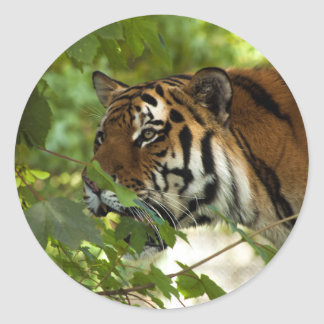 Amur Tiger on the Prowl Classic Round Sticker