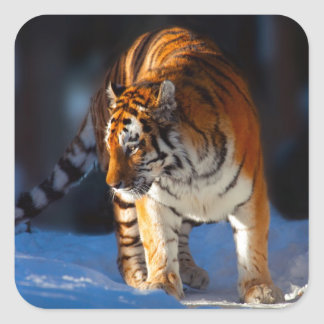 Amur Tiger on white snow Square Sticker