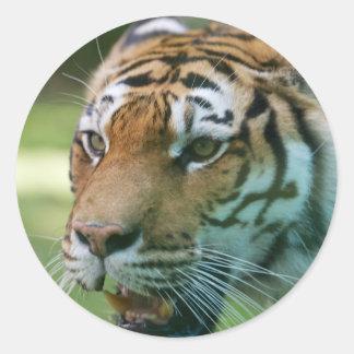 Amur tiger (Panthera tigris altaica) portrait Classic Round Sticker