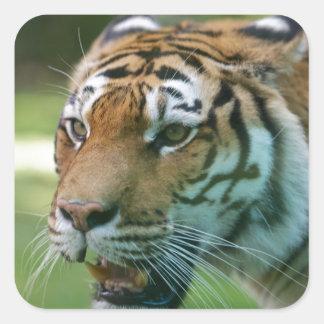 Amur tiger (Panthera tigris altaica) portrait Square Sticker