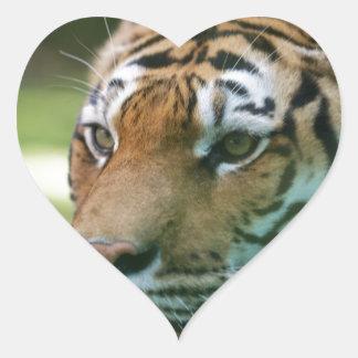Amur tiger (Panthera tigris altaica) portrait Heart Sticker