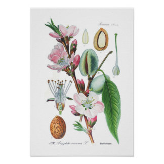 Amygdalus communis (almendra) póster
