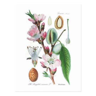 Amygdalus communis (Almond) Postcard