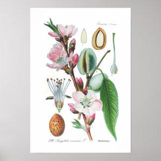 Amygdalus communis (Almond) Poster