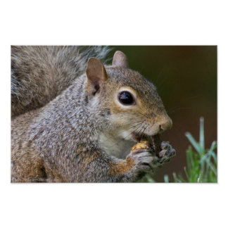 An A-peeling Nut Female Squirrel Poster
