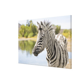 An adolescent mountain zebra (Equus zebra) Canvas Print