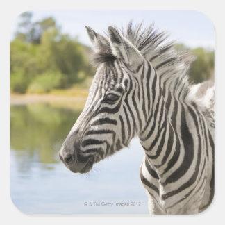 An adolescent mountain zebra (Equus zebra) Stickers