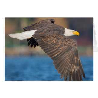 An adult Bald Eagle flies low over water Card