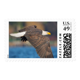 An adult Bald Eagle flies low over water Postage