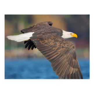An adult Bald Eagle flies low over water Postcard
