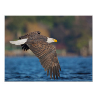 An adult Bald Eagle flies low over water Poster
