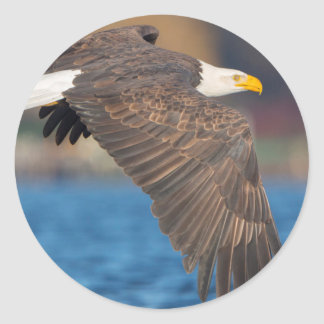An adult Bald Eagle flies low over water Round Stickers
