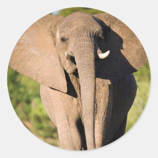 An African Elephant (Loxodonta Africana) Walks Classic Round Sticker