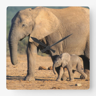 An African Elephant mother and calf on the move Square Wallclocks