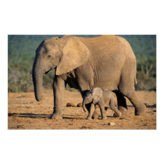 An African Elephant mother and calf on the move Poster