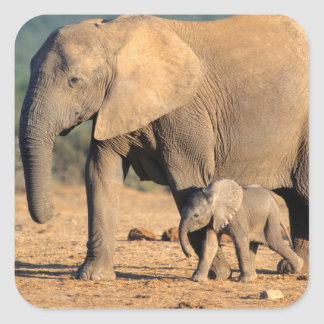An African Elephant mother and calf on the move Square Sticker