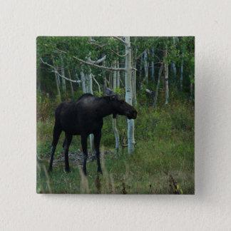 an Alaskan Moose walks around in an Aspen Forest Button