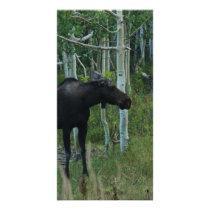 an Alaskan Moose walks around in an Aspen Forest Card