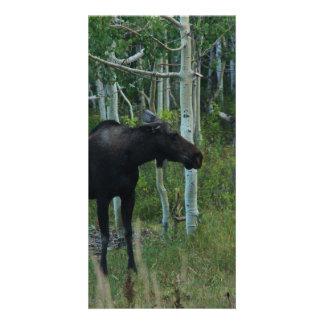 an Alaskan Moose walks around in an Aspen Forest Photo Card