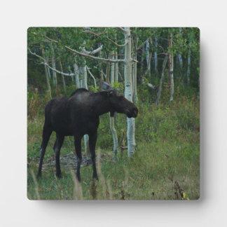 an Alaskan Moose walks around in an Aspen Forest Plaque