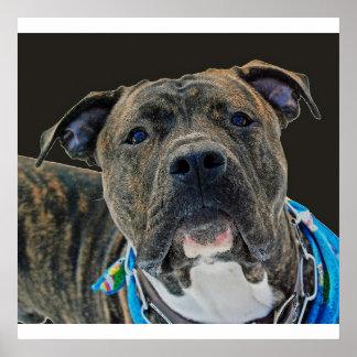 An American Bulldog Poster/Print