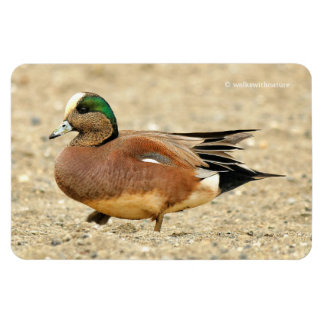 An American Wigeon on the Beach Magnet
