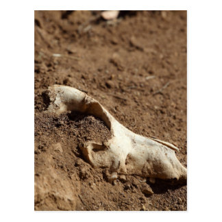 An animal skull covered with dry earth. postcard