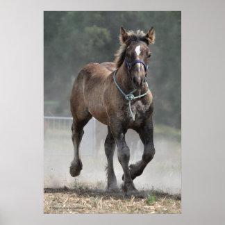 An Ardennais draft horse foal Poster