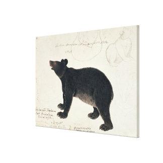 "An Asiatic Black Bear, ""Ursus Tibetanus"" Canvas Print"