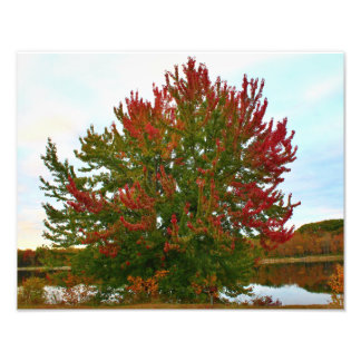 An Autumn Silver Maple Tree Photographic Print