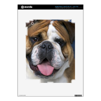 An english bulldog in Belgium. iPad 3 Decals