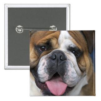 An english bulldog in Belgium. Pinback Button