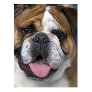 An english bulldog in Belgium. Postcard