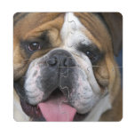 An english bulldog in Belgium. Puzzle Coaster