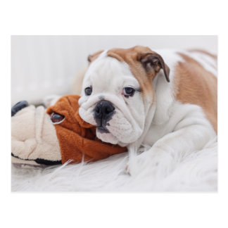 An English Bulldog Puppy Playing With A Bulldog Postcard